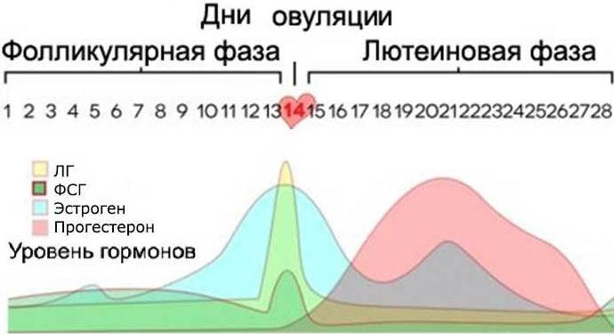 Соотношение гормонов в разные фазы менструального цикла