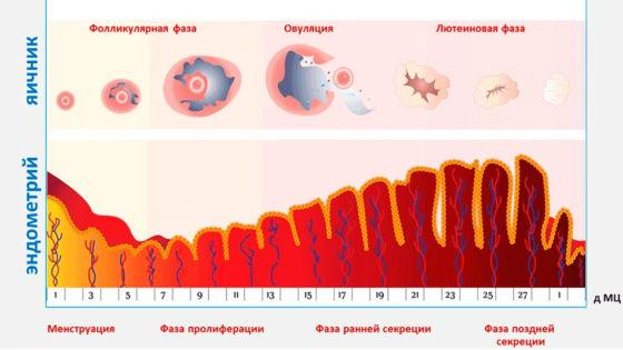Эндометрия ранней стадии фазы секреции