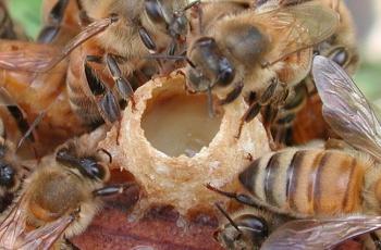 Пчелиное маточное молочко, его свойства и применение