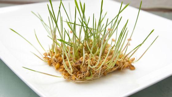 Ростки пшеницы для приготовления очищающего салата