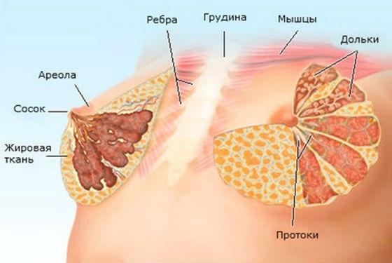 Ткани молочной железы, в которых образуются уплотнения