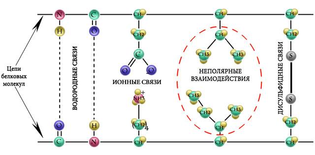 Схематическая структура волоса, дисульфидные связи
