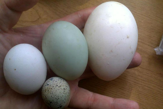 Яйца разных сельскохозяйственных птиц
