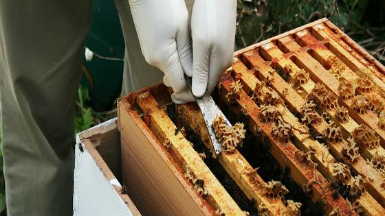 Как заготавливают пчелиный клей